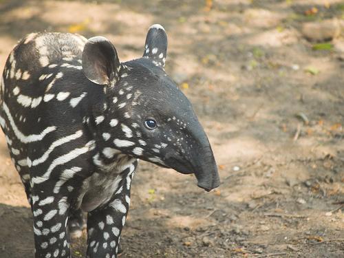 tapírie mláďa