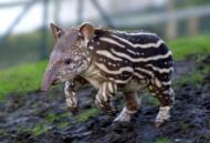 Running tapir