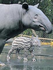 tapir and mum1
